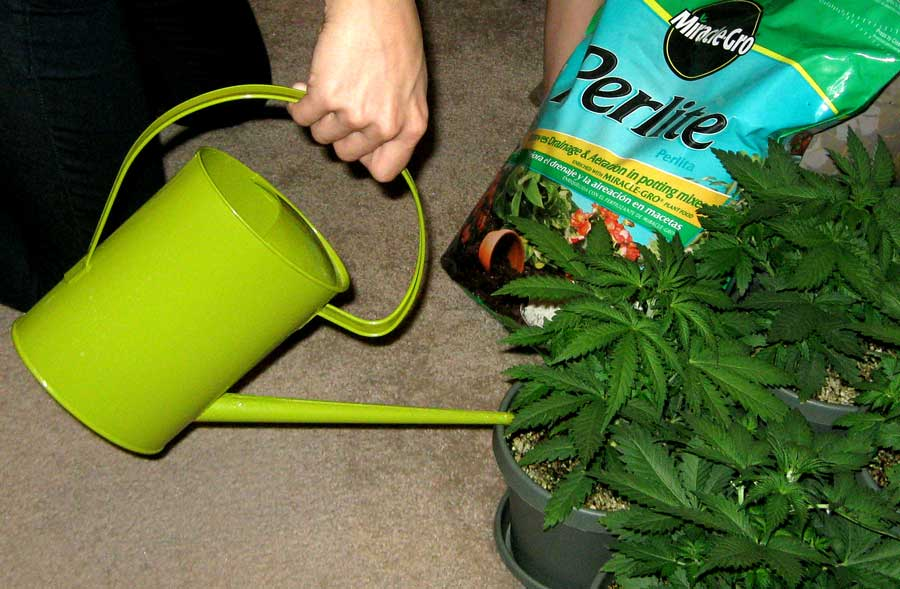 How Often Should I Water My Weed Plant 2